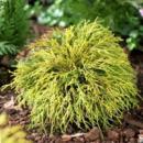 Кипарисовик горохоплодный «Filifera Aurea» 3х летний