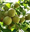 Грецкий орех КЛИШКОВСКИЙ (Привитый)