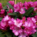 Рододендрон гибридный Блюреттия 2х летний (Rhododendron yakushimanum Blurettia)