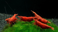Креветка пресноводная «Кровавая Мэри» Neocaridina heteropoda var. «Bloody Mary»