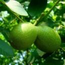 Грецкий орех Буковинский 1(Привитый)