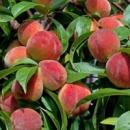 Персик «Лесостепной», 2 года