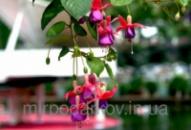 Семена цветов бонсай «фонарь фуксия»