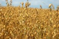 Пшеница высококачественная