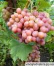 Виноград Ливия (вегетирующий саженец) Черенок 25 грн.