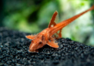 Красная Лорикария - Rineloricaria lanceolata