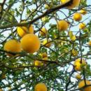Понцирус (Лимон Уличный)