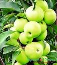 Саженец яблони колоновидной МЕДОК