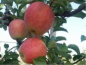 Яблуня «Пінова»