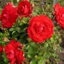 Роза Шамплейн Champlain