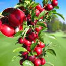 Колоновидные Плодовые Деревья (Розница)