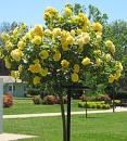 Штамбовая роза Апполо