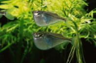 клинобрюшка обыкновенная (лат. Gasteropelecus sternicla) 2см