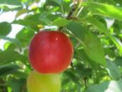 Гибрид абрикоса Biricoccolo Gigante di Budrio (Бирикокколо Гигант ди Будрио)