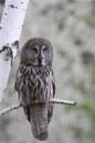 Сова Бородатая неясыть хищные птицы