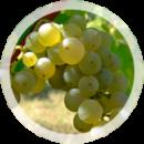 Технический виноград «Совиньон»