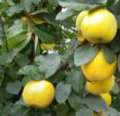 Айва яблоковидная Мария
