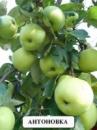 Яблуня «Антонівка»