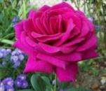 Роза Биг Перпл. Big Purple