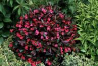 Вейгела цветущая Александра 2х летняя (Weigela florida Alexandra)