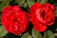 Роза Бенджамин Бриттен .Benjamin Britten