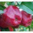 купить в украине саженцы яблони «рихард»