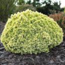 Ель канадская Дендрофарма Голд 3х летняя (Picea glauca Dendrofarma Gold)