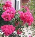 Штамбова роза Дороти Паркинс