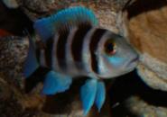 Лампрологус пятиполосый (Neolamprologus tretocephalus) 3,5-4см