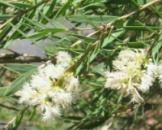 Цветочная вода Чайного дерева Спивакъ
