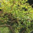 Верба Матсудана «Erythroflexuosa»