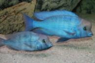 голубой дельфин (Cyrtocara moorei) 3 см