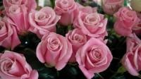 розовые розы «Светлана»