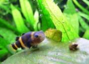 Бычок Пчелка или Шмель (Brachygobius doriae) 2-2,5см
