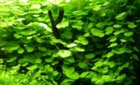 Гидрокотила белоголовая или Щитолистник белоголовый (Hydrocotyle leucocephala)