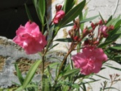 Олеандр махровый розовый