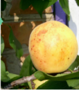 Персик-абрикос гибрид «Ромео»