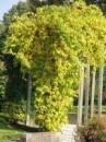 Деревогубец круглолистый, 120-140 см