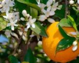 Цветочная вода Апельсина Спивакъ