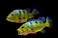 Цихла Келбери(Cichla kelberi) 6-7см