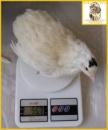 Яйцо инкубационное перепелиное белый техасец супер-бройлер.