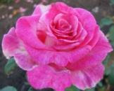 Роза Верди