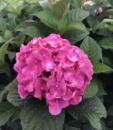 Гортензия крупнолистая 'Эндлес Самер Блум Стар ('Endless Summer Bloom Star) 2х летняя