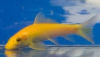 Геринохейлус желтый водорослеед (Gyrinocheilus aymonieri) 5-6см