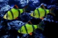 барбус суматранский GloFish (Barbus tetrazona GLOFISH)