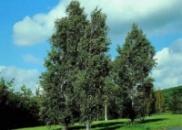 Береза повислая Fastigiata/Фастигиата, от 250-550 см