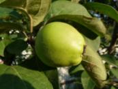 Цидолис ( гибрид айвы и яблони)/будет на осень 2021/