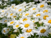 ромашка садовая - белая