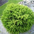 Ель обыкновенная / европейская Нидиформис 3х летняя (Picea abies Nidiformis)