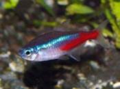 Голубой неон (Paracheirodon innesi, hyphessobrycon innesi) 2cm